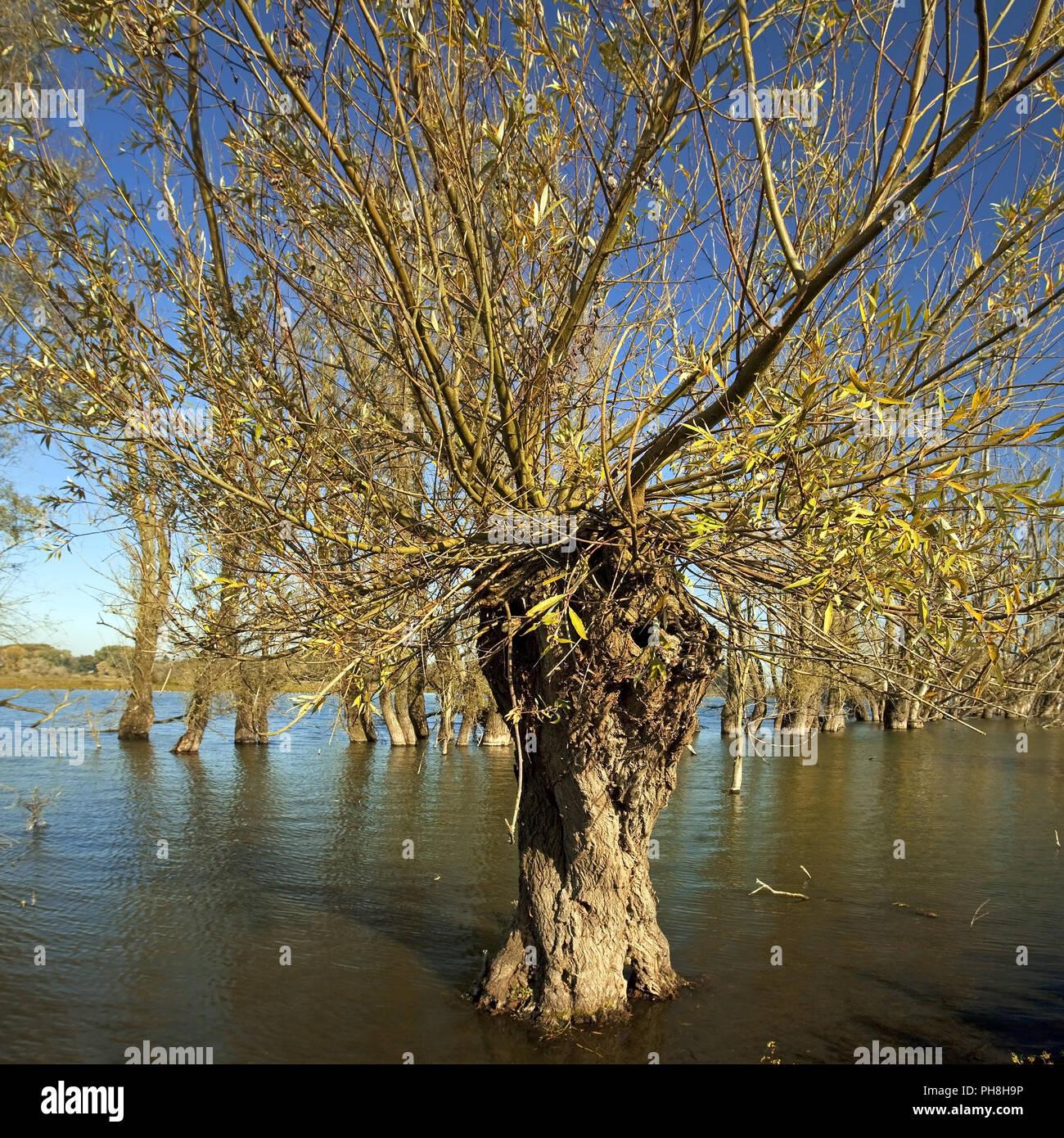 Il salice bianco (Salix alba), vecchio Reno, Xanten Immagini Stock