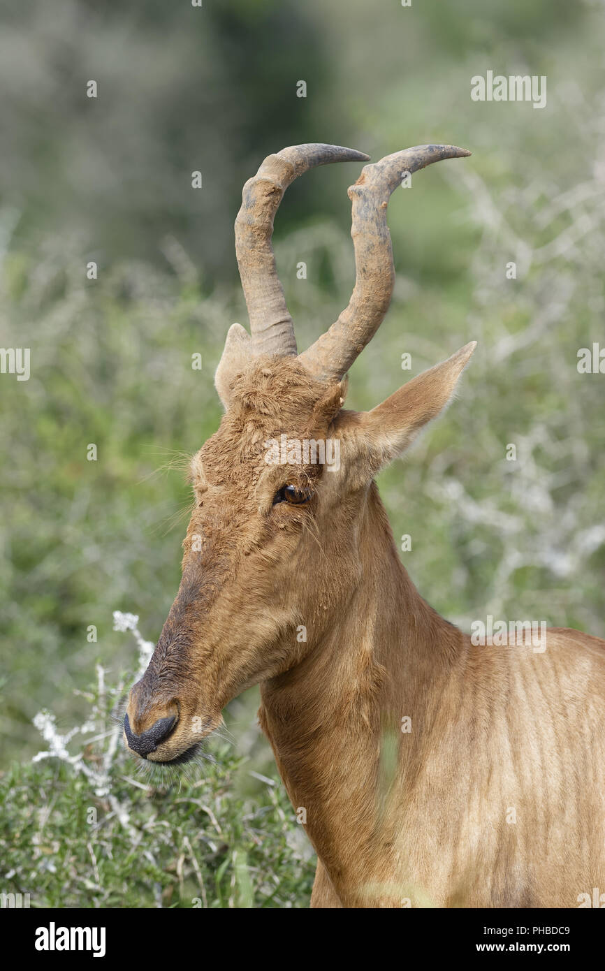 Red Hartebeest portret, Addo Elephant National Park Immagini Stock