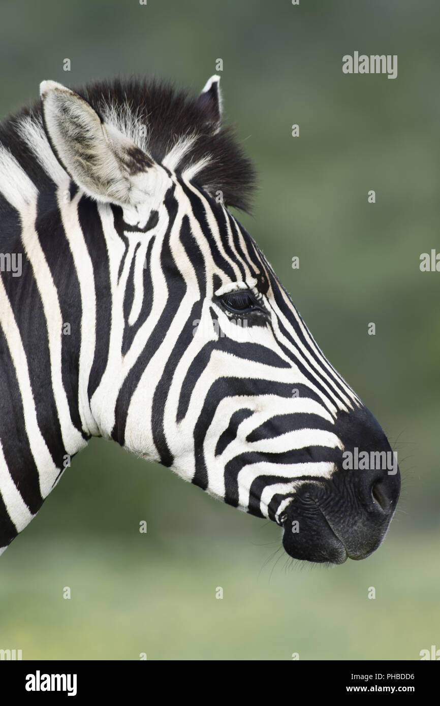 Le pianure Zebra portret in Addo Elephant National Park Immagini Stock
