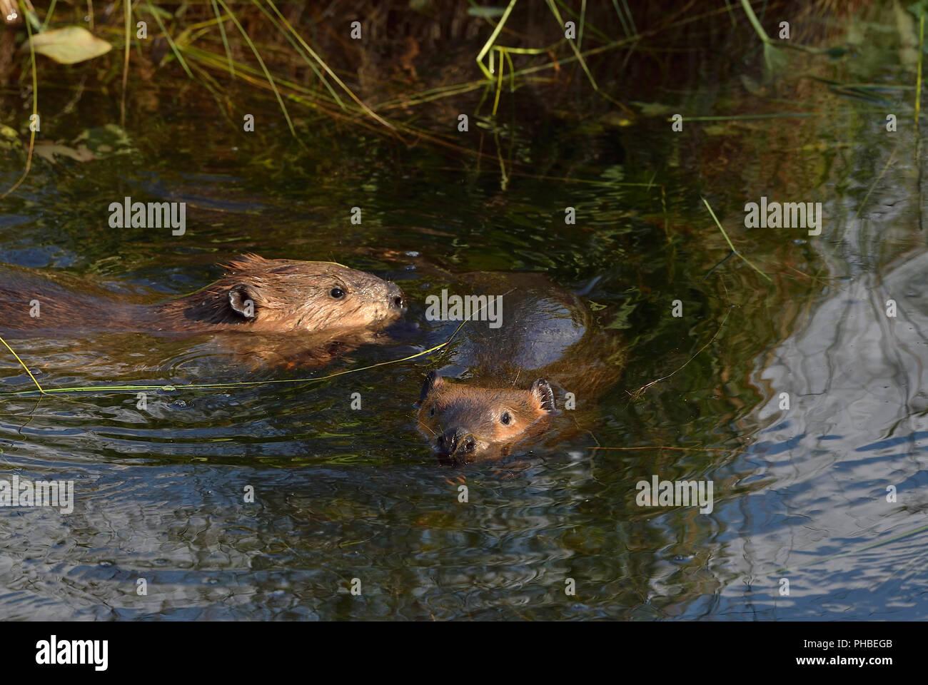 Famiglia di castori immagini famiglia di castori fotos stock alamy