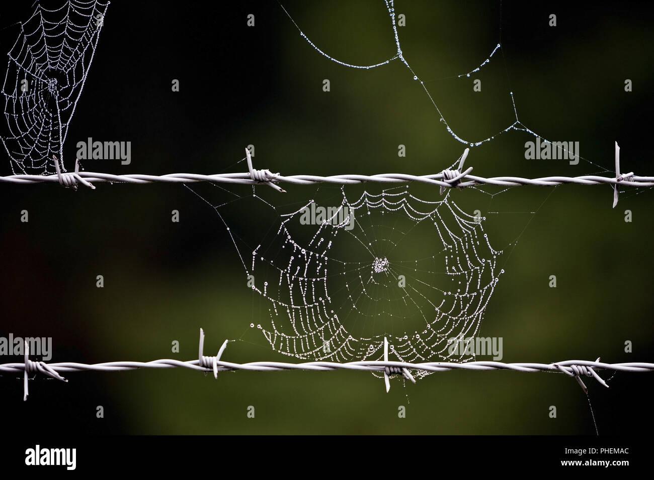 Filo spinato e spider web, Bruehl, Renania settentrionale-Vestfalia, Germania, Europa Immagini Stock