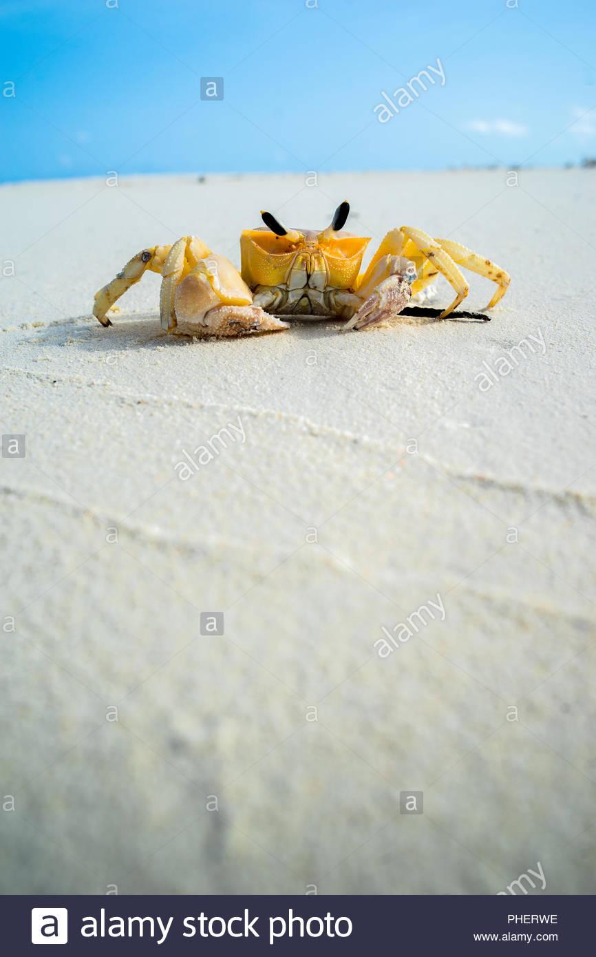 Essiccata la morte lo scheletro di granchio, vista frontale sulla bianca spiaggia di sabbia, Maldive Immagini Stock