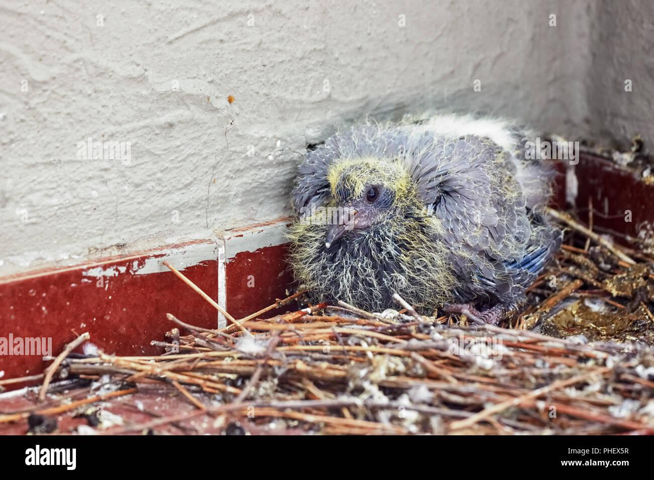 Nido Di Tortore Sul Balcone pigeon egg immagini & pigeon egg fotos stock - alamy