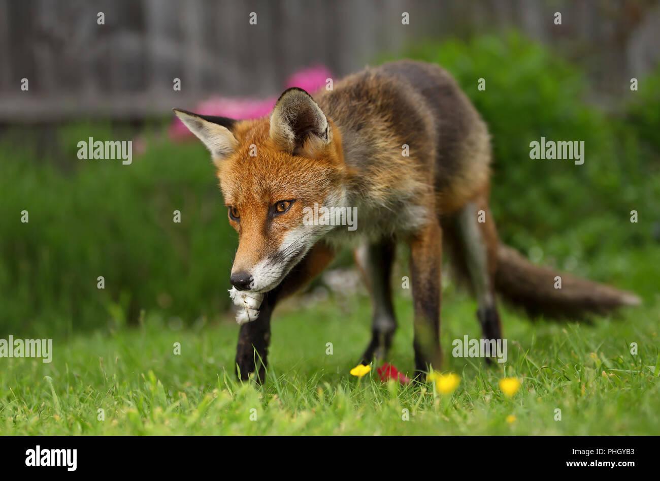 In prossimità di una volpe rossa che porta di piume di Uccelli nel giardino, estate nel Regno Unito. Immagini Stock