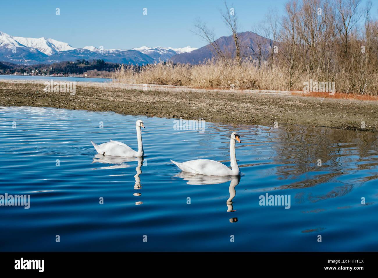 Coppia di cigni nuotare pacificamente lungo il fiume Immagini Stock