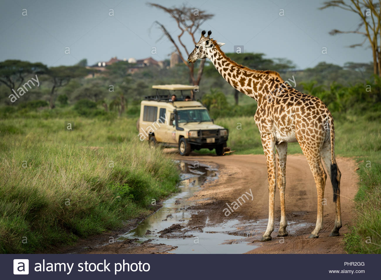 Masai giraffe bloccaggio pista allagata per jeep Immagini Stock