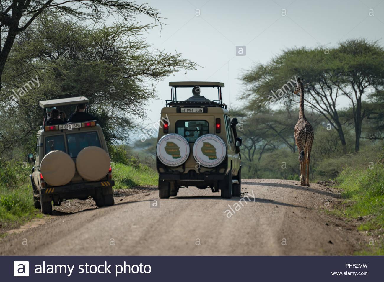 Masai giraffe bloccando la strada per due jeep Immagini Stock