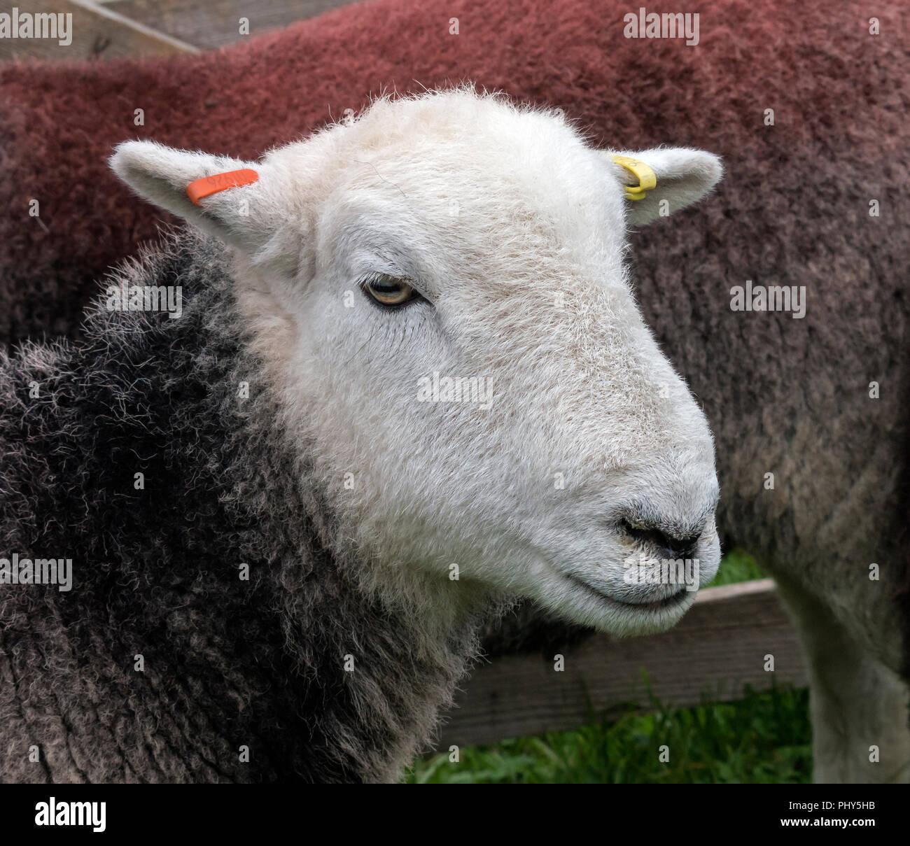 Herdwick pecore a Moorcock mostrano, in attesa di essere giudicati. Immagini Stock