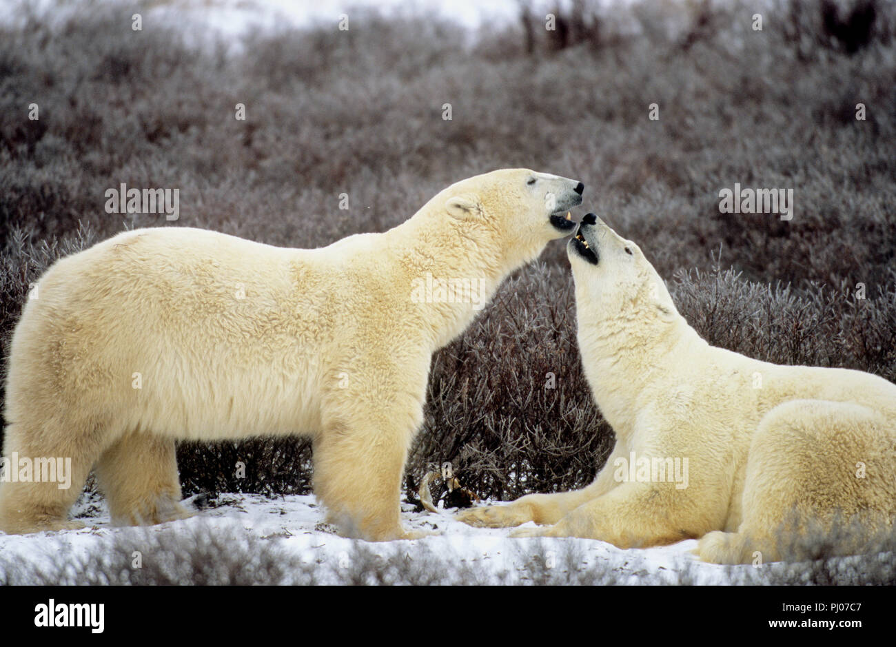 Gli orsi polari playfighting vicino a Churchill, Manitoba, Canada Immagini Stock