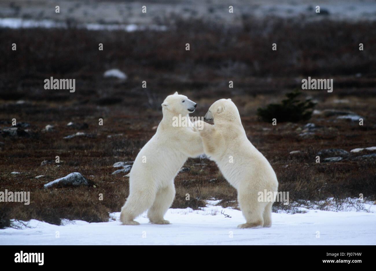 Gli orsi polari playfighting vicino a Churchill, Manitoba, Canada Immagini Stock