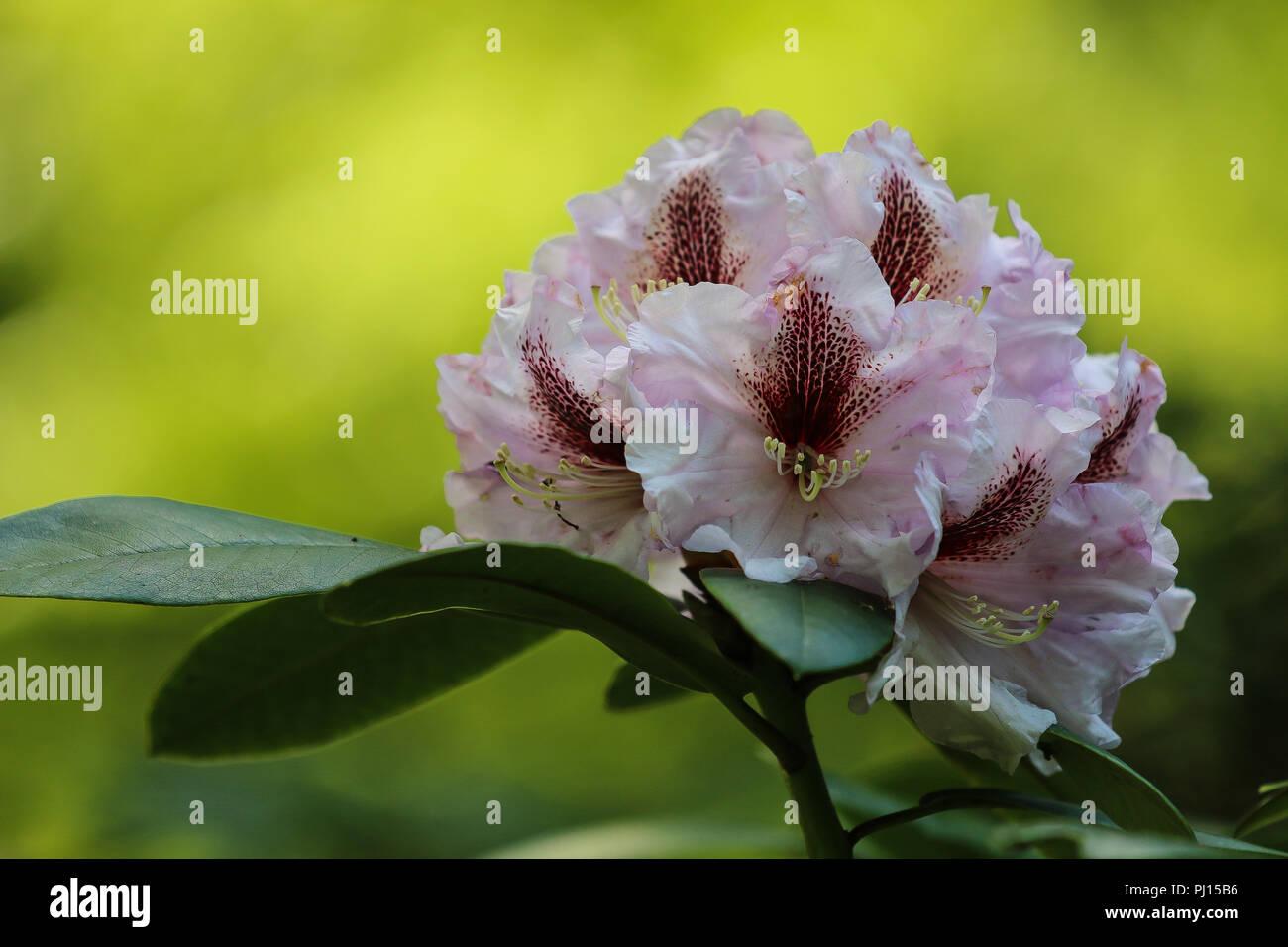 Bellissimi Rododendri Testa Di Fiori Rosa E Bianco Con Uno Sfondo