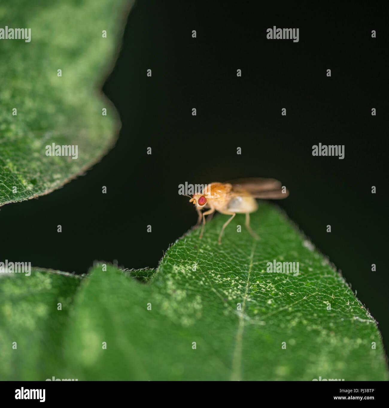 Mosca della frutta seduto sul bordo di una foglia verde Foto Stock