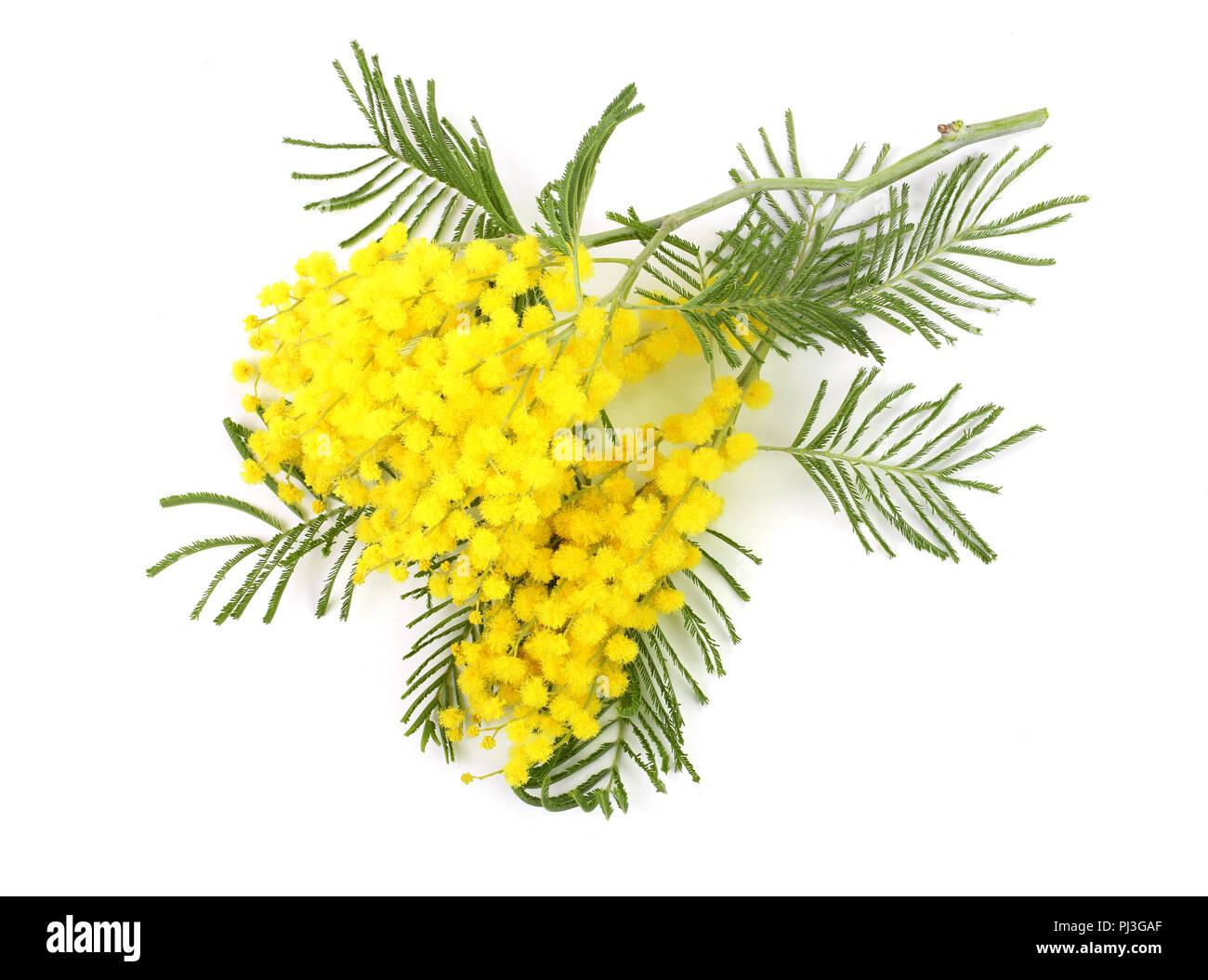 La mimosa isolati su sfondo bianco. Vista superiore Immagini Stock 898a0659609b