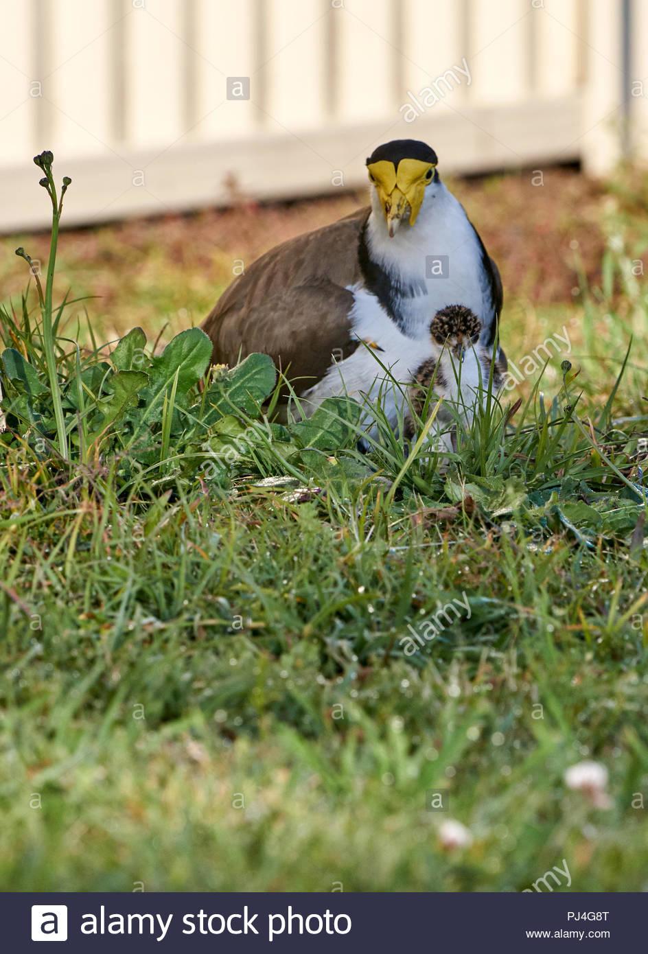 Un australiano Plover(Vanellus miglia) - mascherata Pavoncella - seduta su di esso's Nest, con un nuovo pulcino tratteggiata accoccolato accanto; nel pomeriggio di sole. Immagini Stock