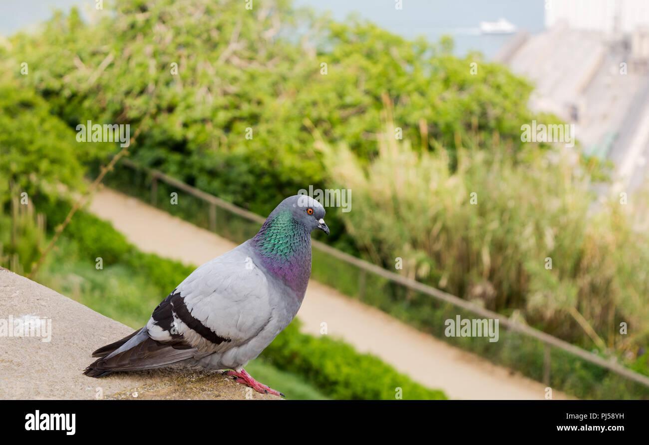 Feral rock colomba, noto anche come rock piccione o piccione comune (Columba livia) appollaiato sulla cima della collina di Montjuic. Immagini Stock