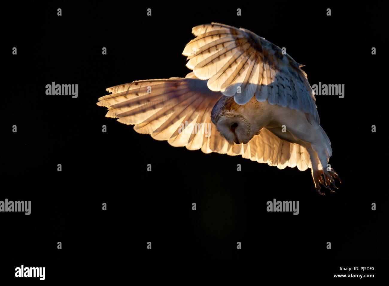 Il barbagianni in volo retroilluminati da sera presto la luce del sole Immagini Stock