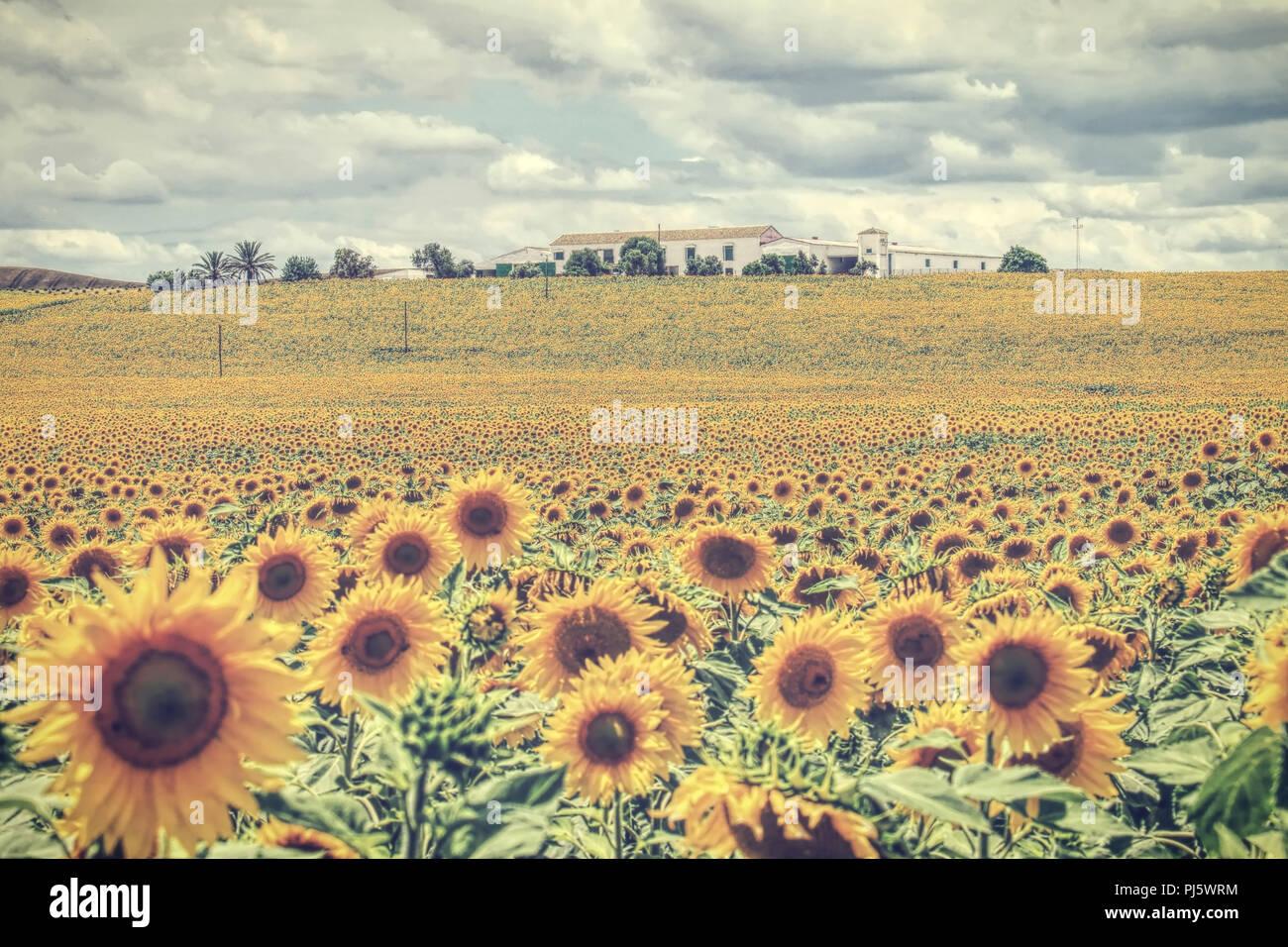 Paesaggio con girasoli Foto & Immagine Stock: 217718248 - Alamy