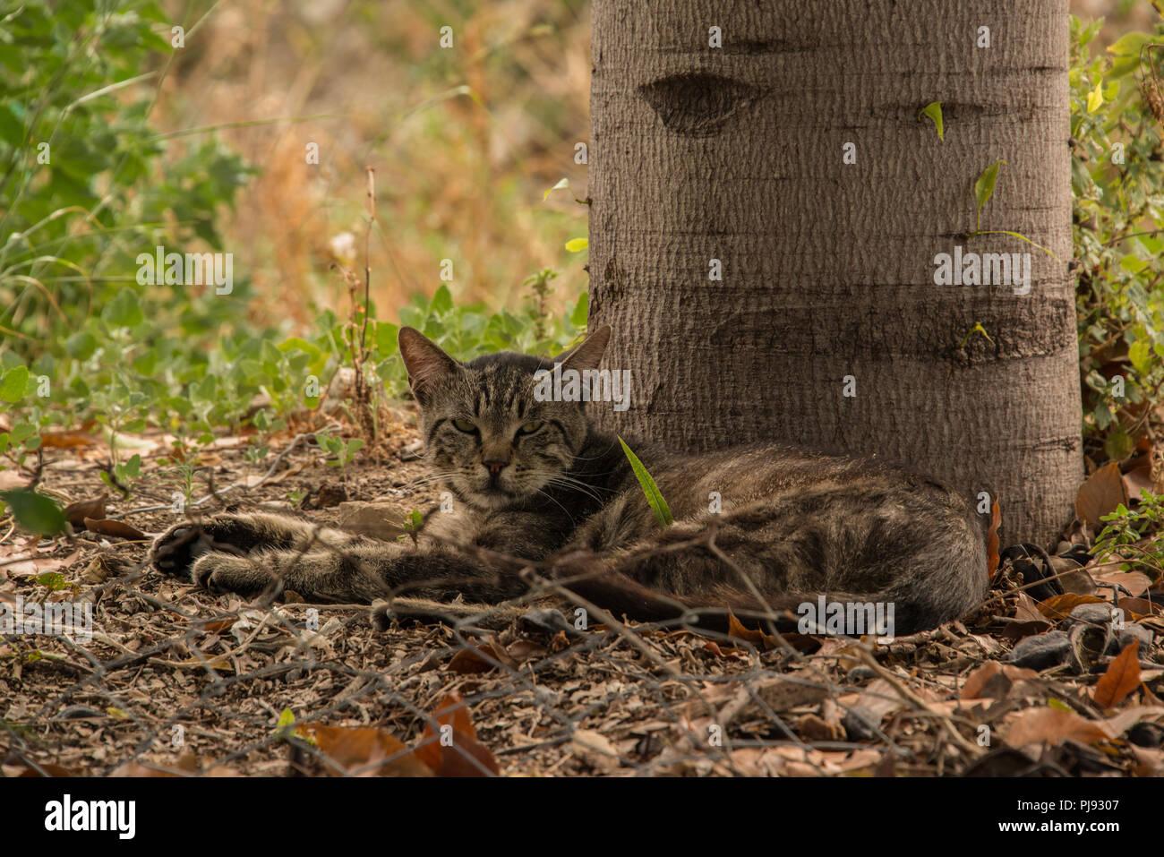 Un feral tabby cat. Immagini Stock