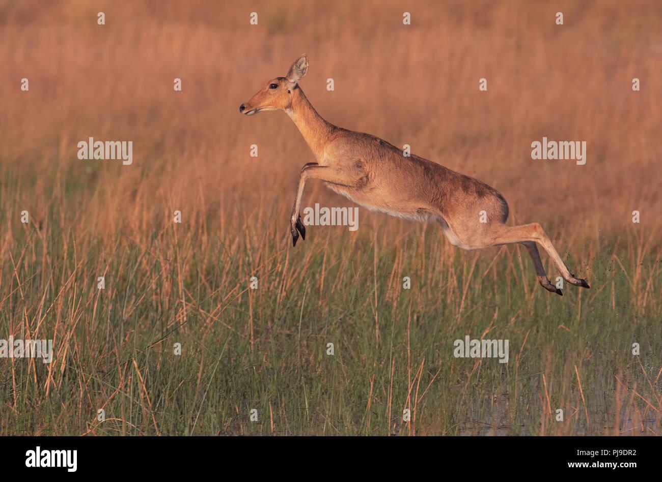 Reedbuck meridionale Immagini Stock