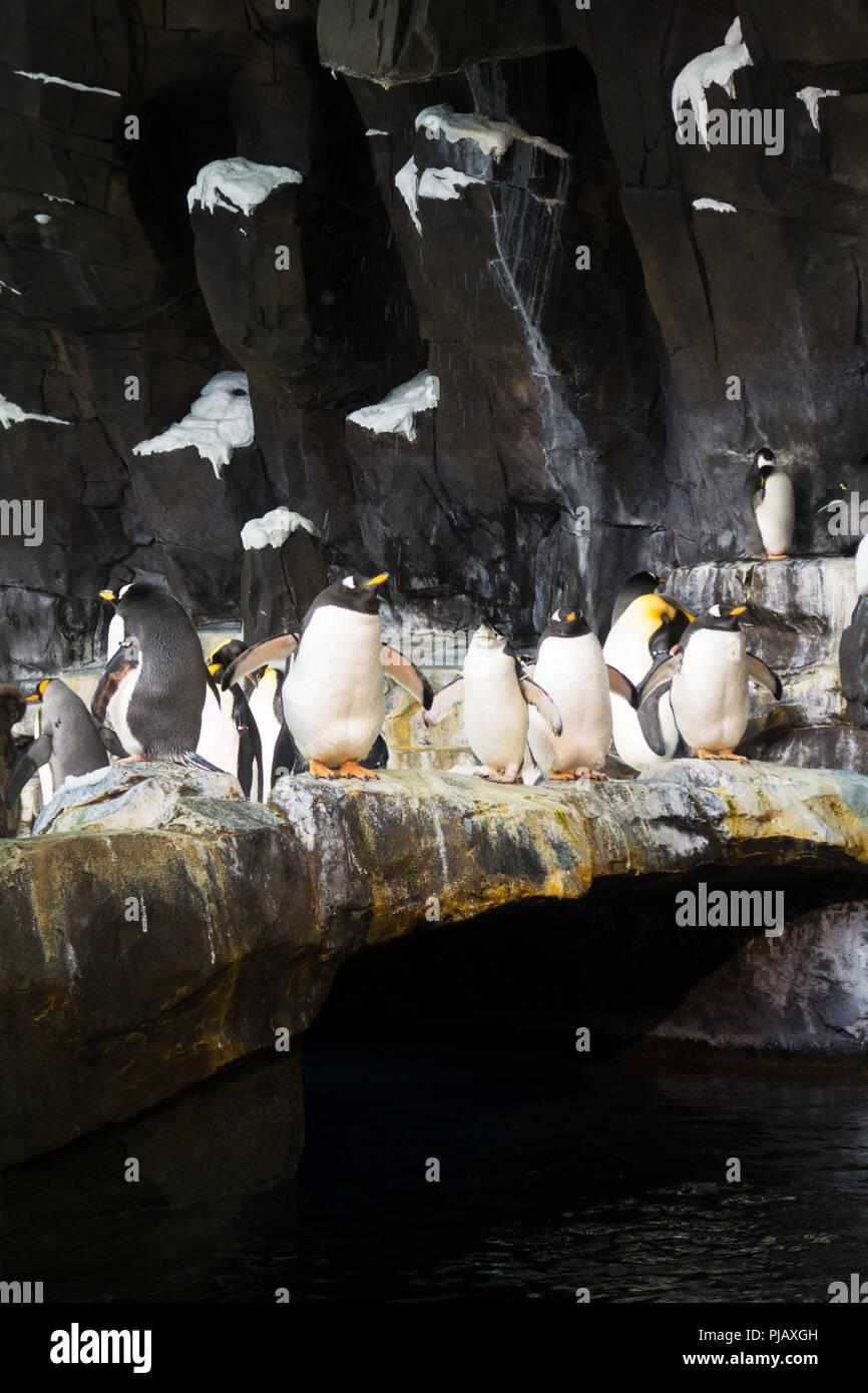 Le colonie di pinguini visualizzati all'Impero del Pinguino di esporre al SeaWorld di Orlando, Immagini Stock