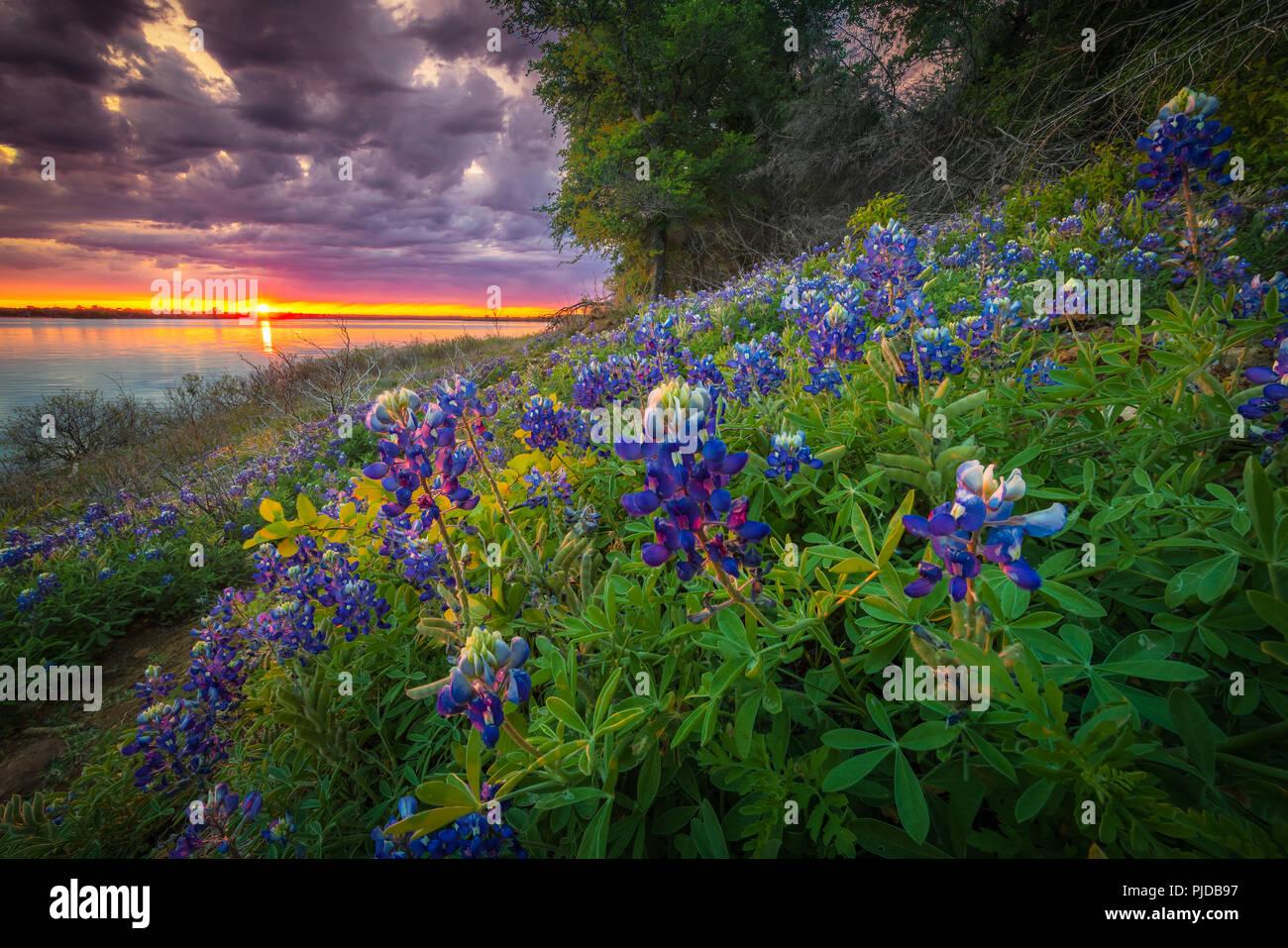 Bluebonnets a Grapevine lago nel nord Texas. Lupinus texensis, il Texas bluebonnet, è una specie endemica di lupino in Texas. Immagini Stock