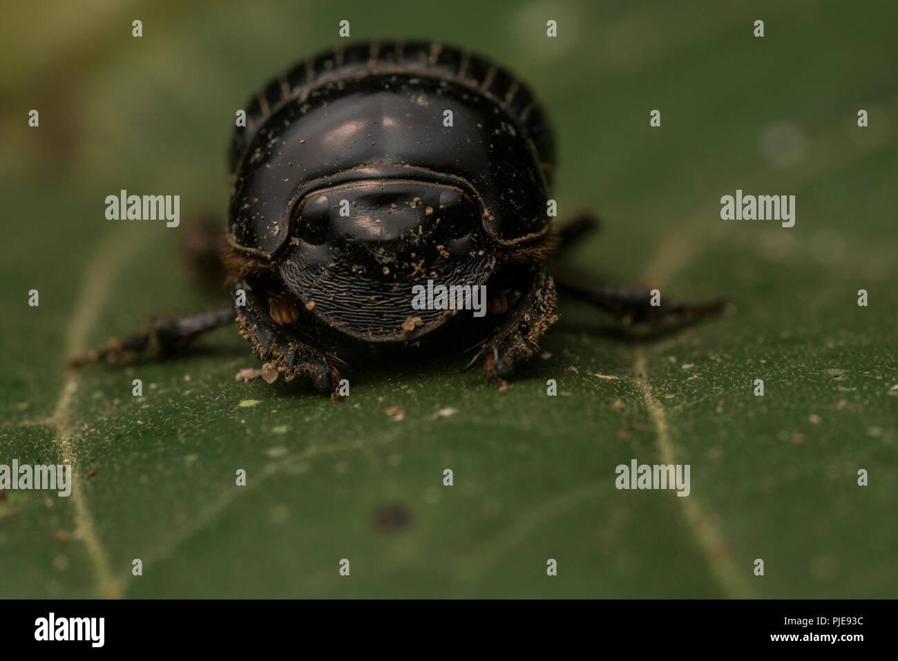 Un dung beetle dalla foresta amazzonica, fotografato in Perù meridionale. Immagini Stock