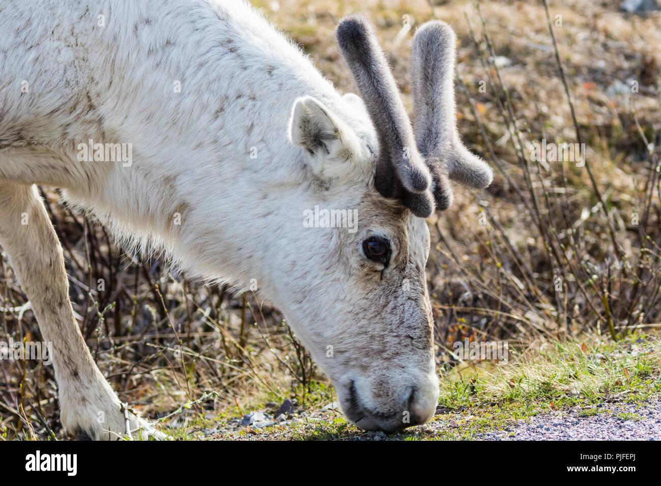 Bianco di renne, Rangifer tarandus in piedi con la testa rivolta verso il basso in cerca di cibo, Stora sjöfallets national park, Gällivare county, Lapponia svedese, Svezia Immagini Stock