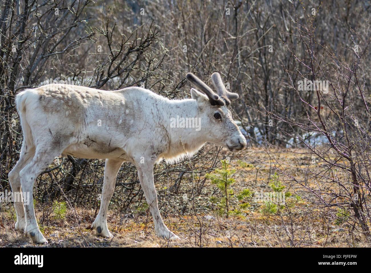 Bianco di renne, Rangifer tarandus permanente e girando la testa verso la telecamera, Stora sjöfallets national park, Gällivare county, Lapponia svedese, Immagini Stock