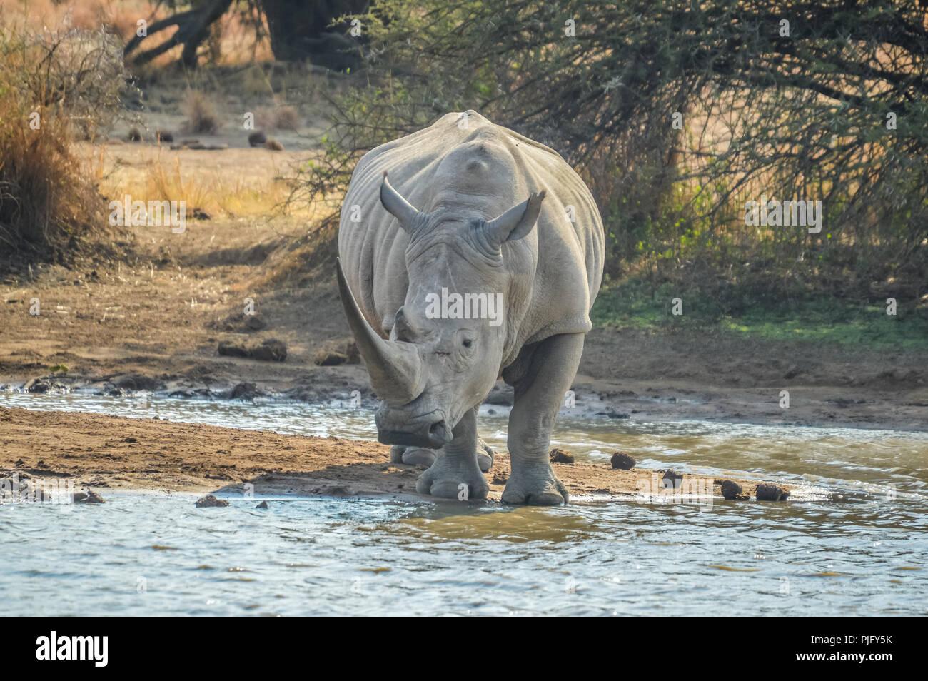 Un simpatico bull maschio rinoceronte bianco o rinoceronte acqua potabile da una diga nel parco di Kruger safari Foto Stock