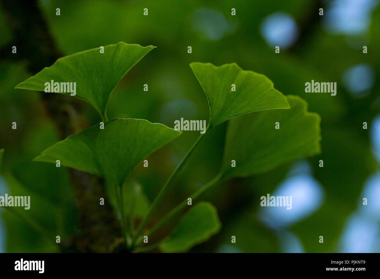 Un ginkgo tree - natura di superstite, Immagini Stock