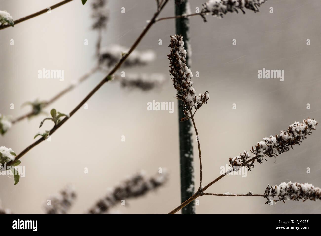 Filiali in inverno, Estate lilla Immagini Stock