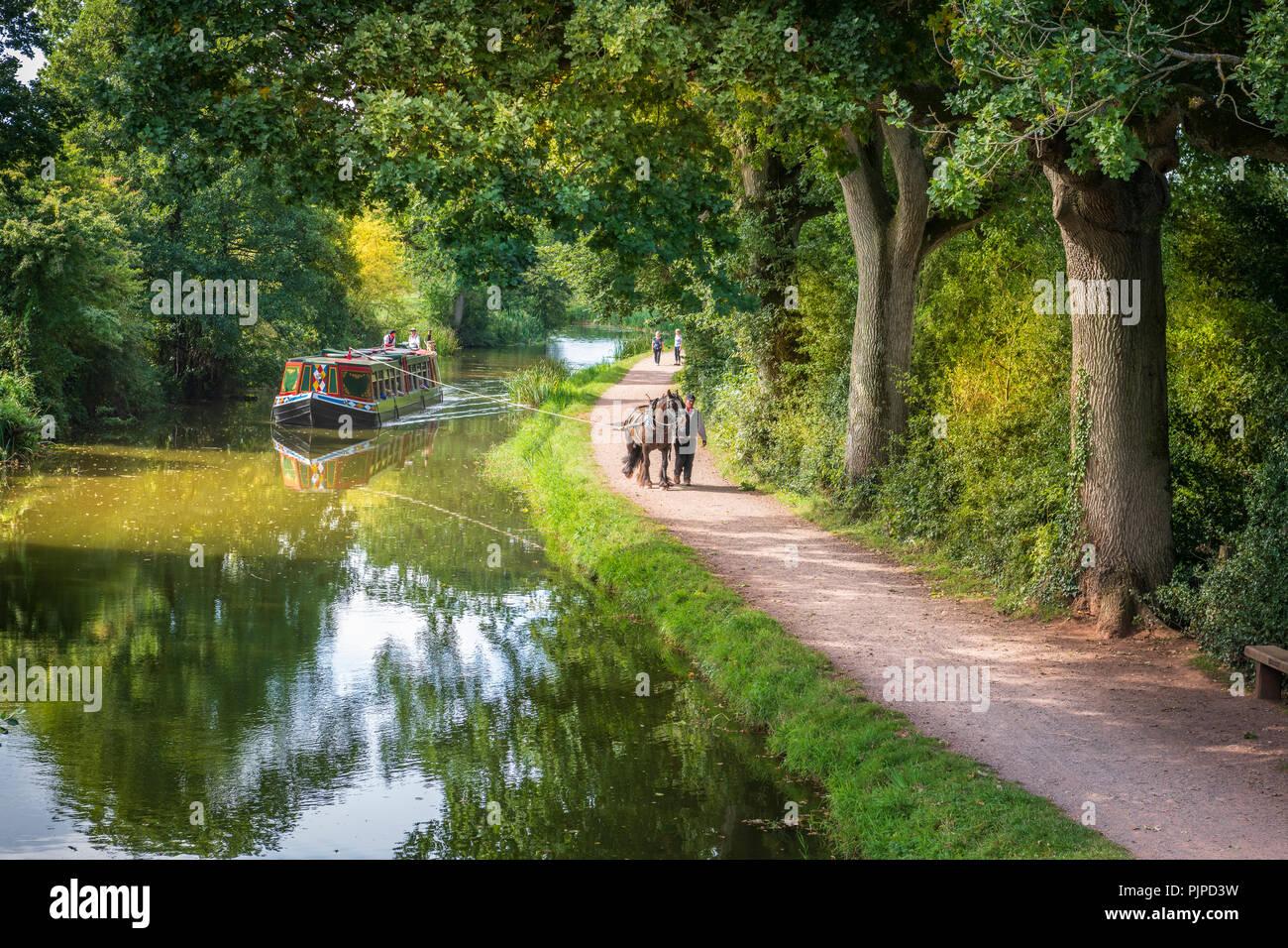 """""""Tivertonian', l'ultimo a cavalli da includersi nel West Country, set off per un altro viaggio sereno verso il basso il Grand Canal occidentale vicino a Tiverton in Devon. Immagini Stock"""