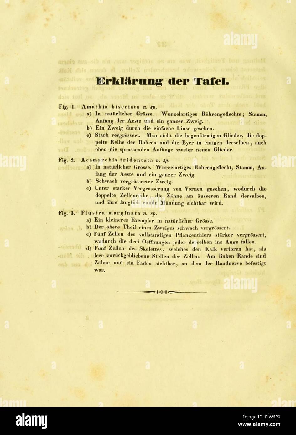 Beitrag zur Kenntniss der Corallineen und Zoophyten der Südsee (descrizione della piastra) Foto Stock
