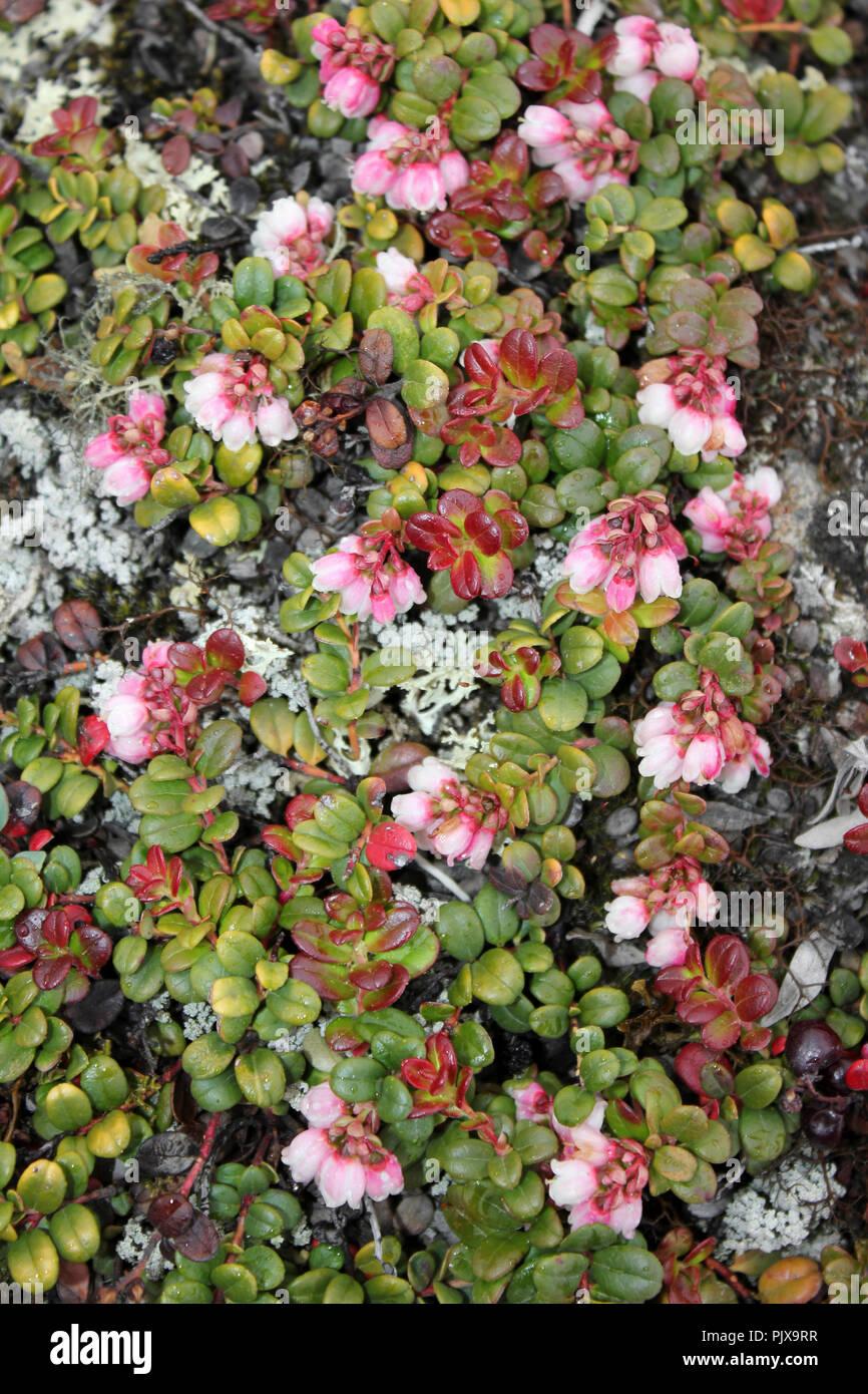 Cowberry Vaccinium vitis-idaea Immagini Stock
