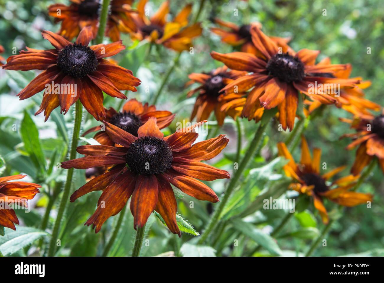 Fiori Arancioni.L Estate Fiori Arancioni Delle Piante Erbacee Perenni Echibeckia O