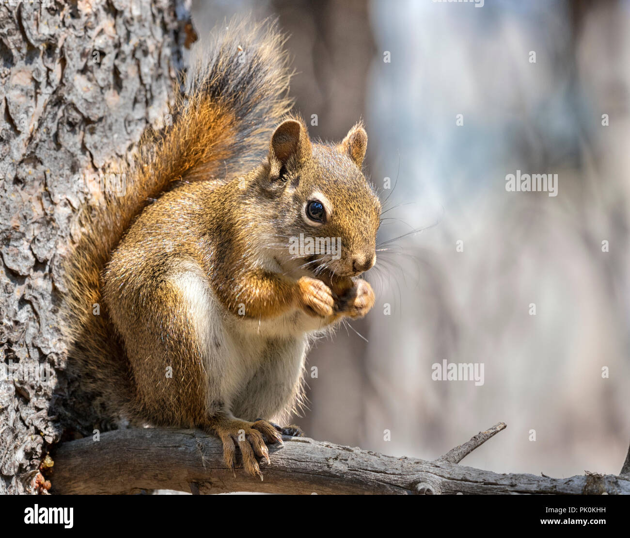 American scoiattolo rosso (Tamiasciurus hudsonicus) o pino squireel Immagini Stock