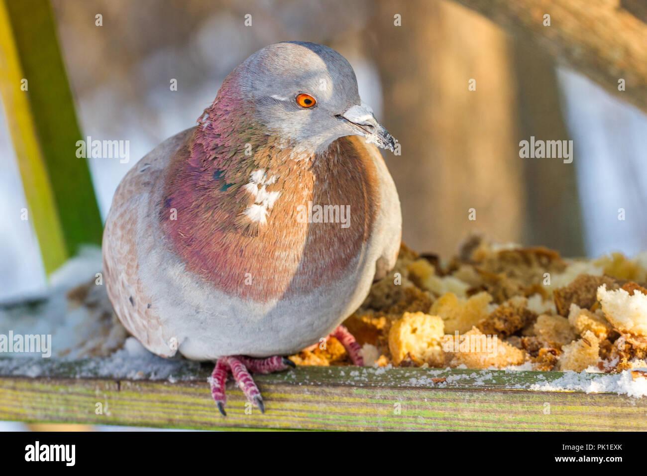 Piccioni e colombe. Strada comune gli uccelli in città. Alimentatore in inverno. Immagini Stock