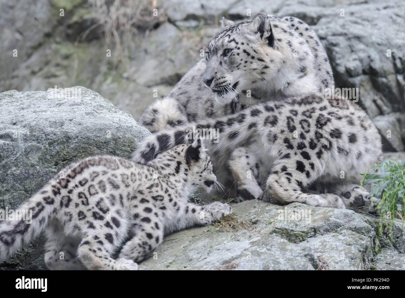 Una madre snow leopard protegge le sue due giovani cuccioli. Immagini Stock