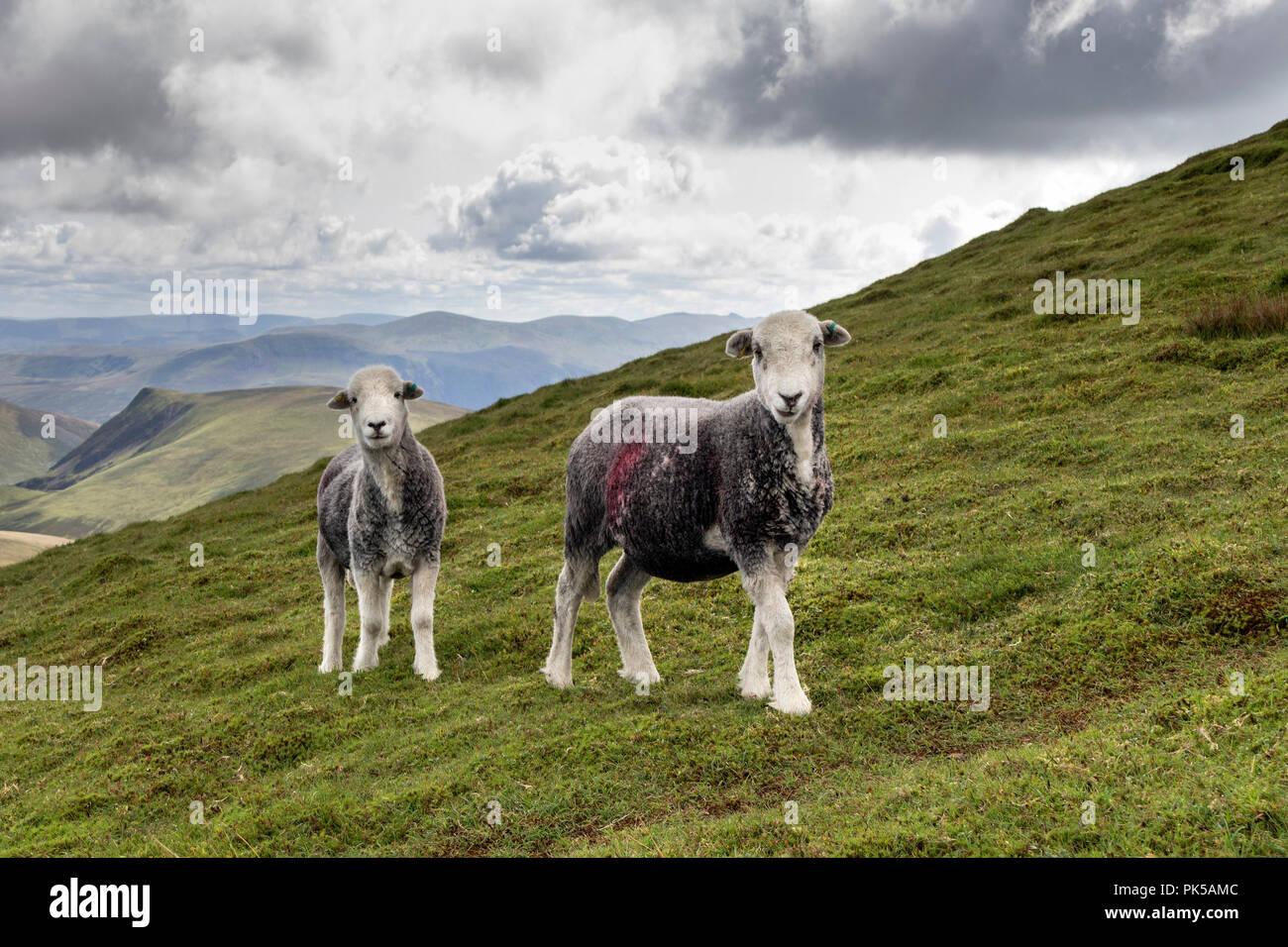 Herdwick pecore, Lake District, Cumbria, Regno Unito Immagini Stock