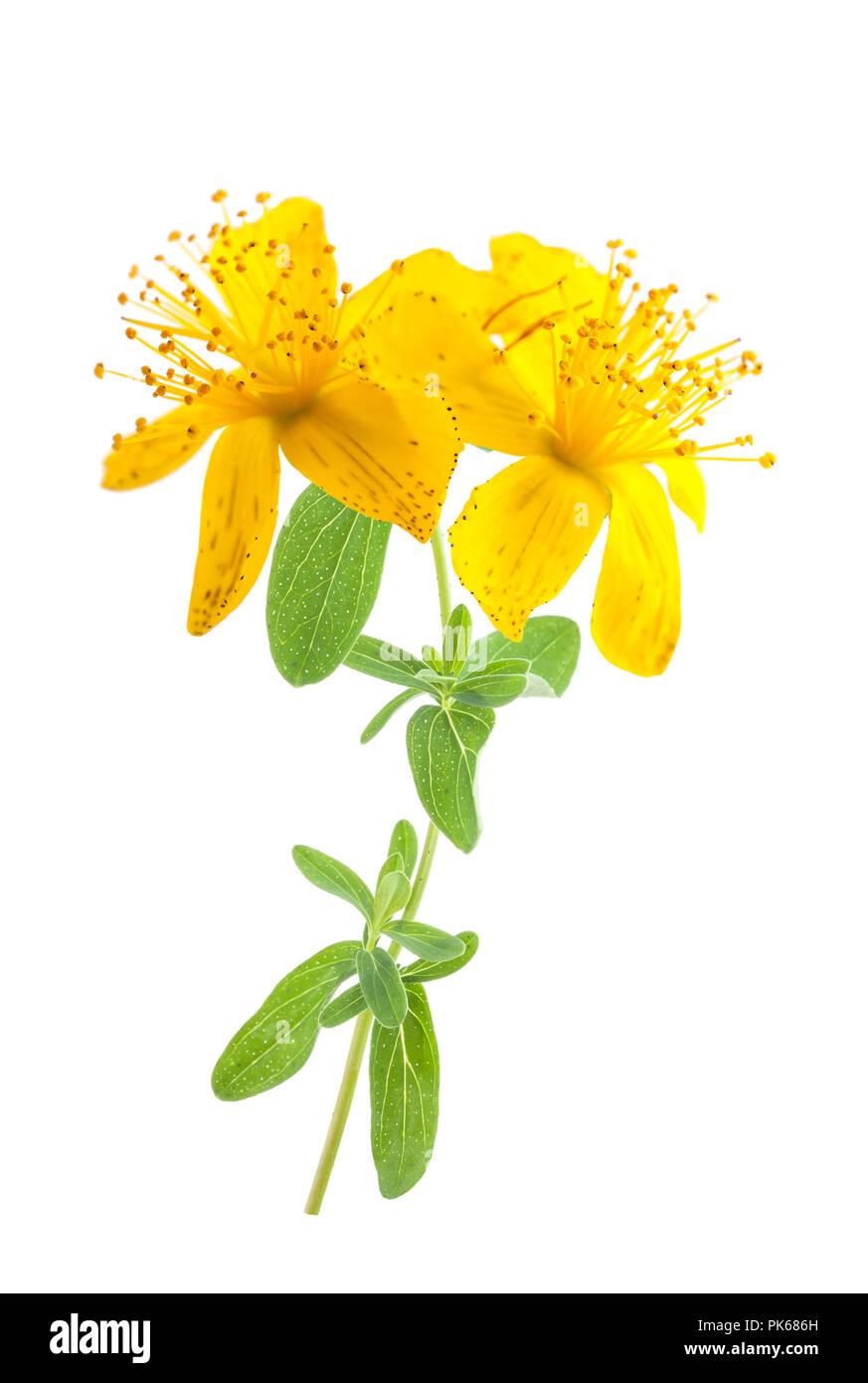 Iperico fiori isolati su sfondo bianco Foto stock - Alamy