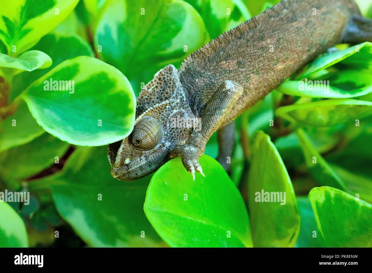 El Camaleón Cuenta con dedos oponibles y cola prensil (motivo por el cual la cola no puede desprenderse del cuerpo). Posee n.a. lengua larga, pegajosa Immagini Stock