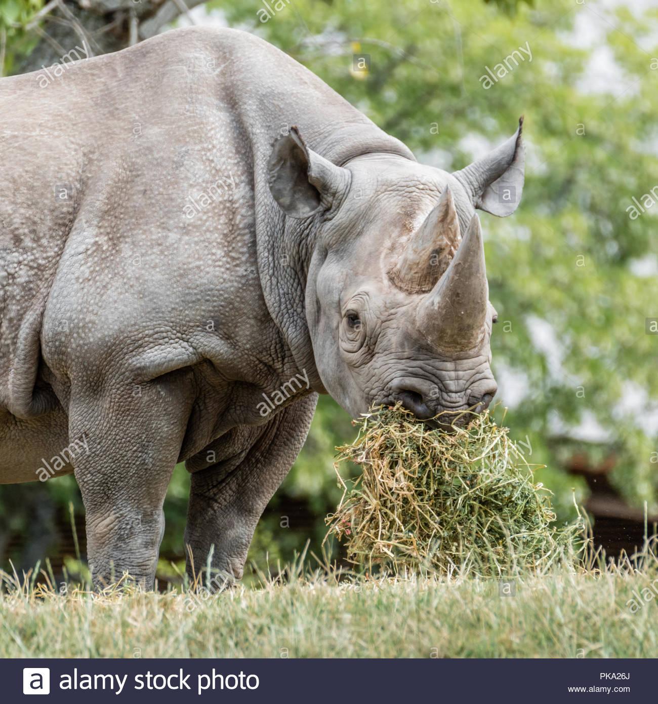 Il rinoceronte nero mangiare Immagini Stock