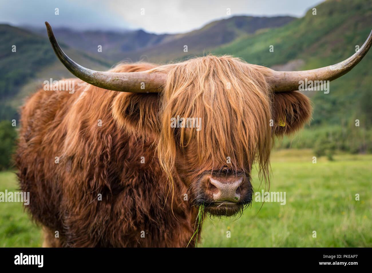 Highland scozzesi bovini, Ben Nevis, Highlands scozzesi, Scotland, Regno Unito Immagini Stock