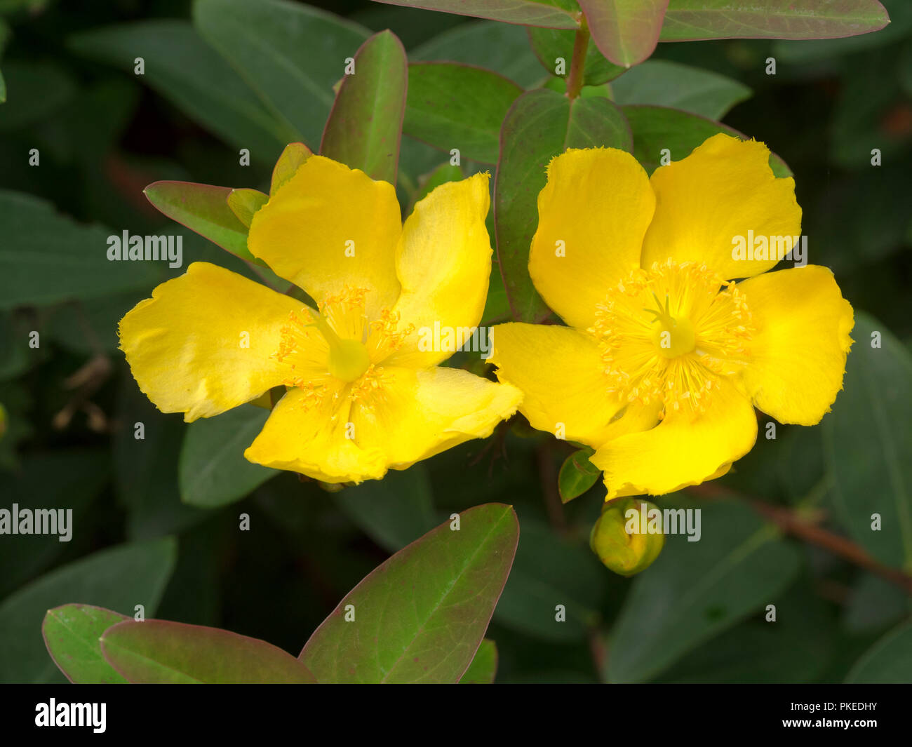 Fiori Gialli Ornamentali.Fiori Gialli Del Semi Evergreen Ornamentali Arbusto Hardy