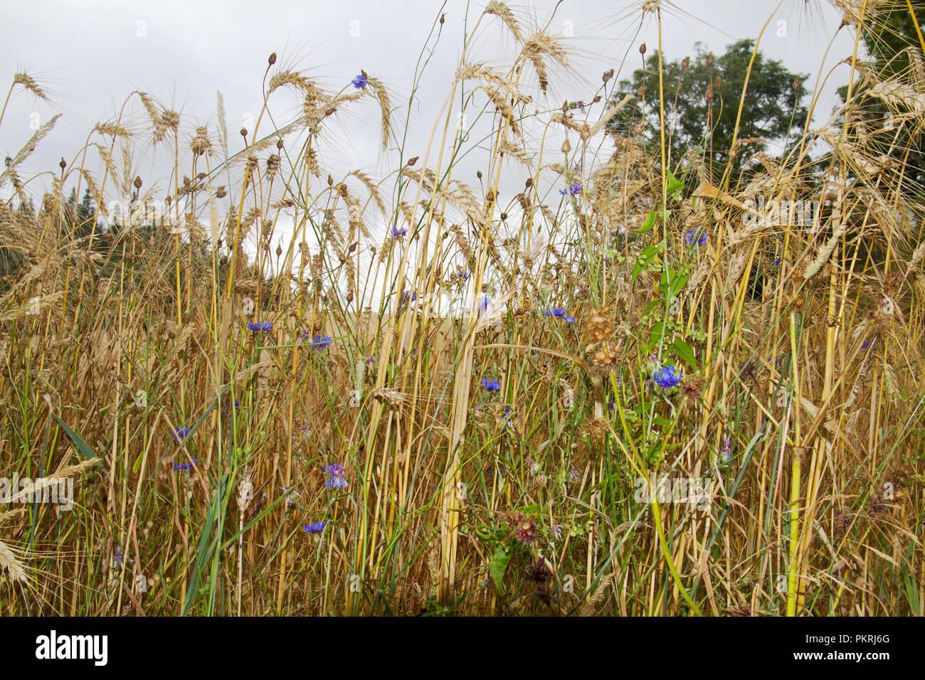 Cornflowers, noto anche come corso di laurea del pulsante, che cresce in un campo di segala Immagini Stock
