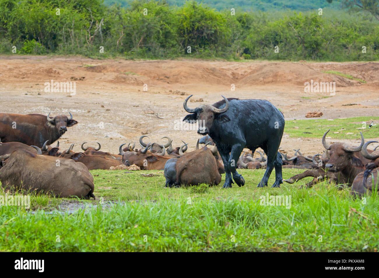Bufale, Buffalo coperti di fango umido, Canale Kazinga, Uganda, Africa orientale Immagini Stock