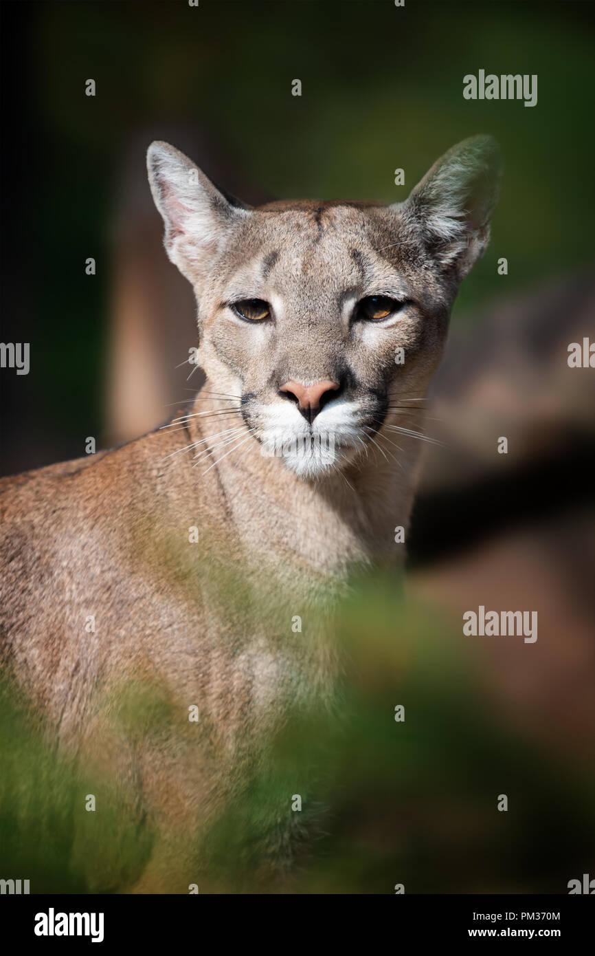 Nero Cougar micio