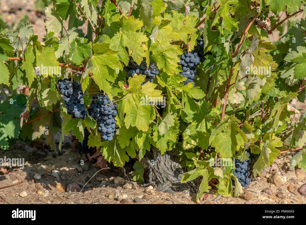 I grappoli di uve a bacca rossa che cresce in uno dei vigneti in Toro, nella provincia di Zamora, Spagna Immagini Stock