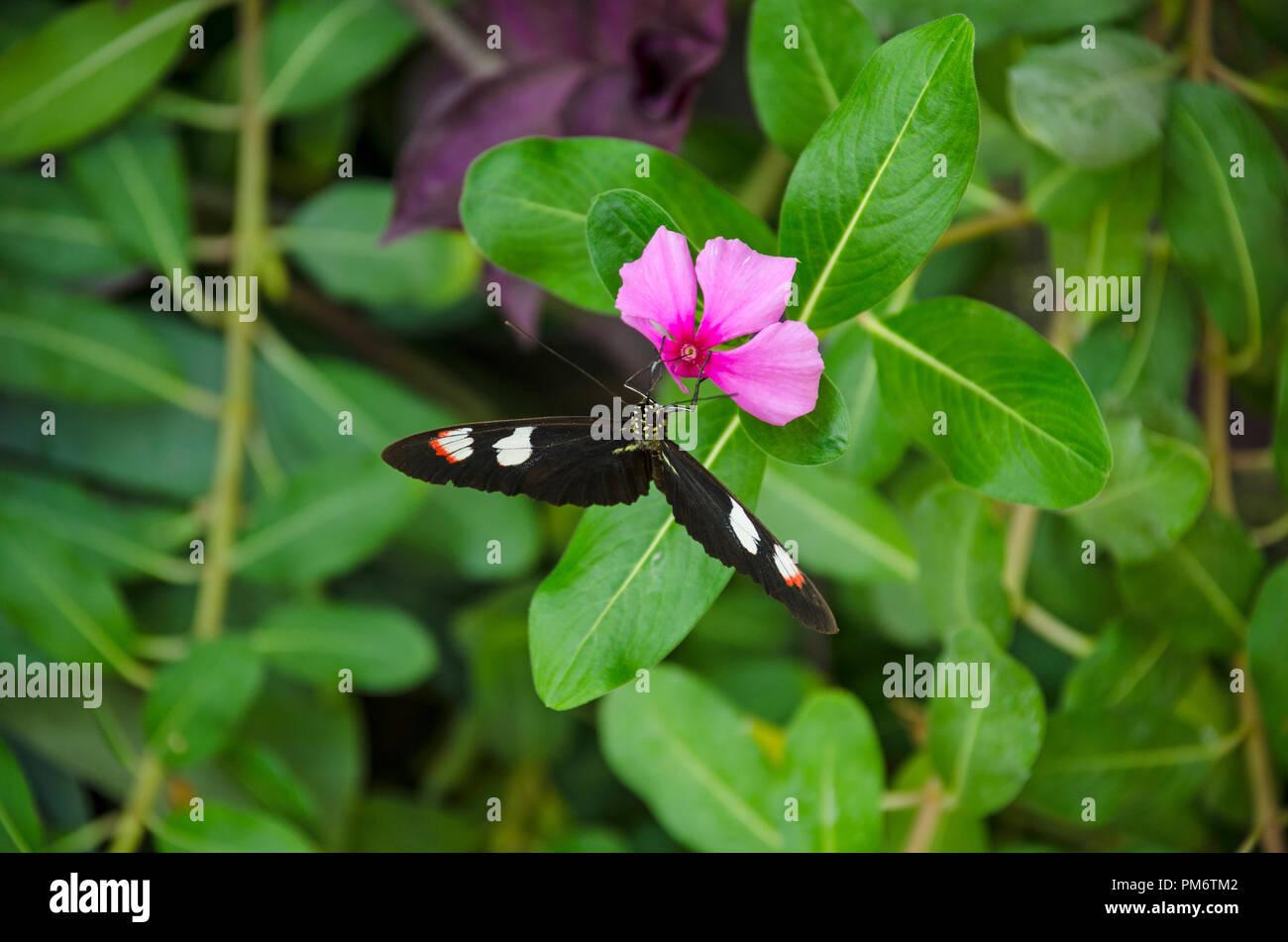 Vivid farfalle tropicali - Comune postino - Heliconius melpomene : Immagini Stock