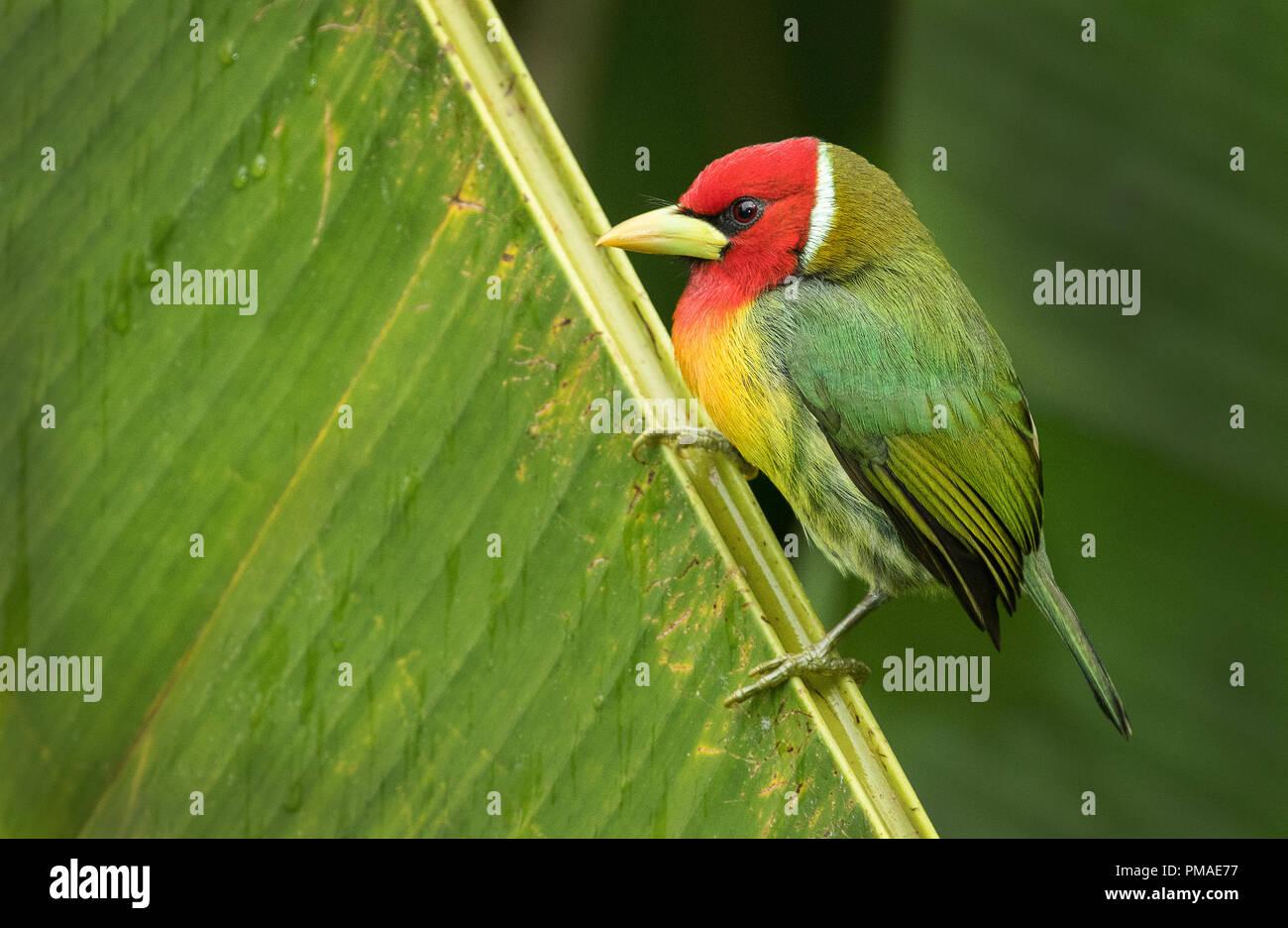 Un arroccato maschio della testa rossa barbet fotografato in China, Costa Rica Immagini Stock